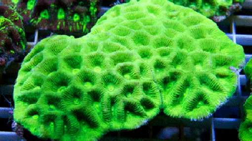 Green Coral